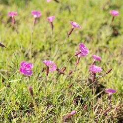 Hvozdík sivý 'Eydangeri' - Dianthus gratianopolitanus 'Eydangeri'
