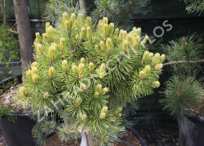 Borovice pyrenejská 'Hnízdo' - Pinus uncinata 'Hnízdo'
