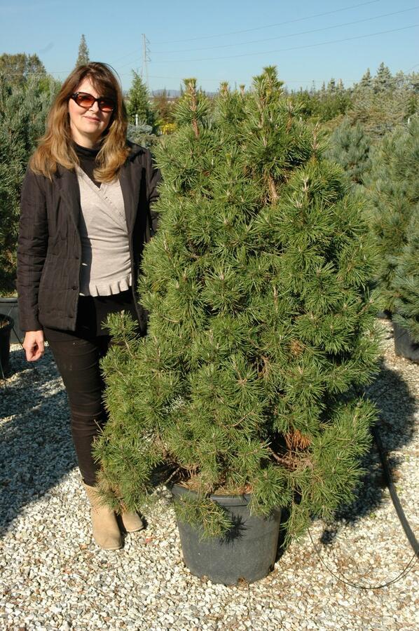 Borovice lesní 'Globosa Viridis' - Pinus sylvestris 'Globosa Viridis'