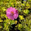 Slézovec 'Bredon Springs' - Lavatera olbia 'Bredon Springs'