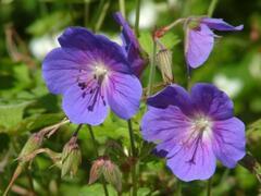 Kakost himalájský 'Gravetye' - Geranium himalayense 'Gravetye'