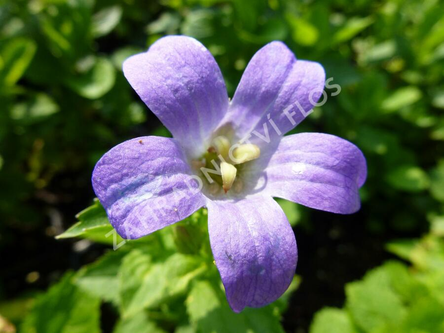 Zvonek širokolistý 'Superba' - Campanula lactiflora 'Superba'