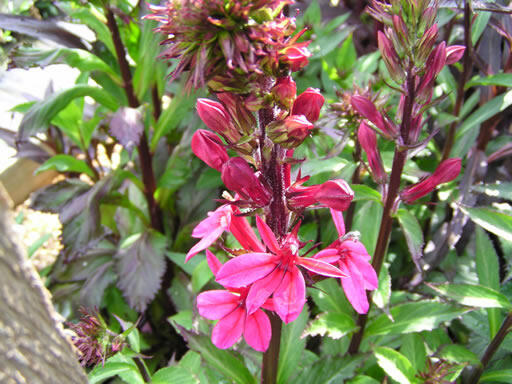 Lobelka 'Fanship Deep Rose' - Lobelia speciosa 'Fanship Deep Rose'