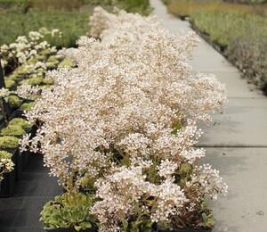 Lomikámen 'Southside Seedling' - Saxifraga cotyledon 'Southside Seedling'