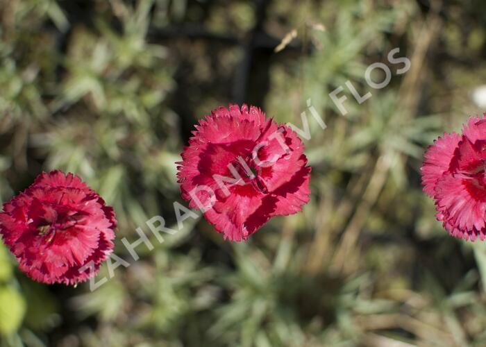 Hvozdík péřitý 'Munot' - Dianthus plumarius 'Munot'