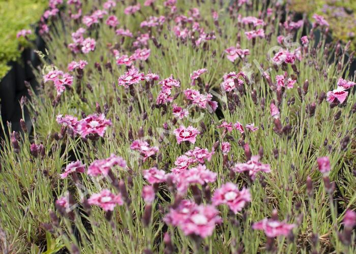 Hvozdík péřitý 'Dixie Rose Picotee' - Dianthus plumarius 'Dixie Rose Picotee'