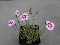 Hvozdík péřitý 'Dixie Red Rose Bicolor' - Dianthus plumarius 'Dixie Red Rose Bicolor'