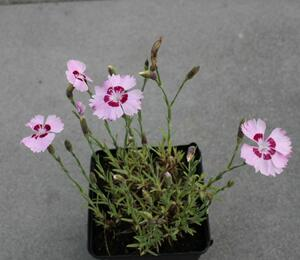 Hvozdík péřitý 'Dixie Red Rose Bicolor' - Dianthus plumarius 'Dixie Red Rose Bicolor'