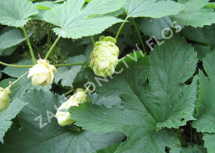 Chmel otáčivý - Humulus lupulus