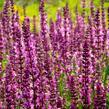 Šalvěj nádherná 'Rosawein' - Salvia superba 'Rosawein'