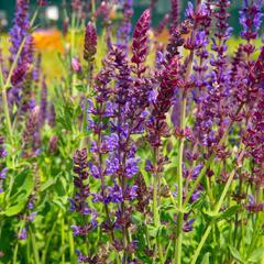 Šalvěj nádherná - Salvia superba