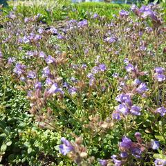 Hledíček 'Blue Dreams' - Chaenorhinum origanifolium 'Blue Dreams'