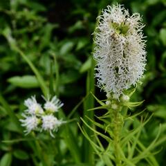 Šuškarda 'Floristan Weiss' - Liatris spicata 'Floristan Weiss'