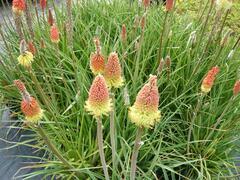 Kleopatřina jehla 'Grandiflora' - Kniphofia uvaria 'Grandiflora'
