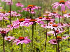 Třapatka nachová 'Leuchtstern' - Echinacea purpurea 'Leuchtstern'