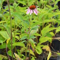 Třapatka nachová 'Doppeldecker' - Echinacea purpurea 'Doppeldecker'