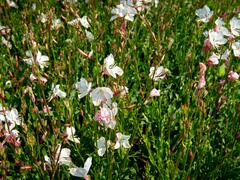 Svíčkovec 'Geyser White' - Gaura lindheimeri 'Geyser White'