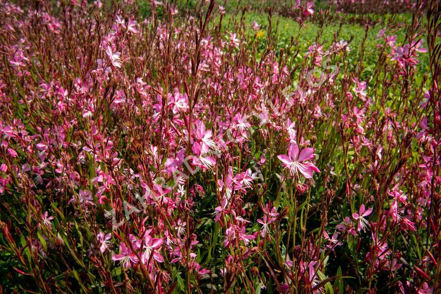 Svíčkovec 'Geyser Pink' - Gaura lindheimeri 'Geyser Pink'