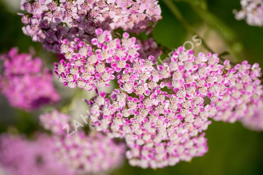 Řebříček obecný 'Summer Pastels' - Achillea millefolium 'Summer Pastels'