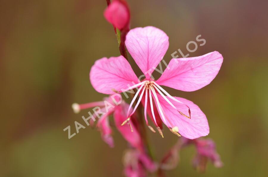 Svíčkovec 'Gambit Compact Pink' - Gaura lindheimeri 'Gambit Compact Pink'