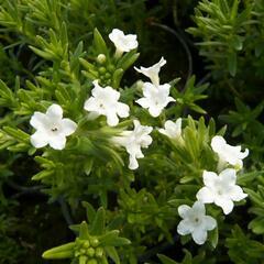 Kamejka 'White' - Lithodora diffusa 'White'