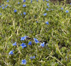 Kamejka 'Grace Ward' - Lithodora diffusa 'Grace Ward'