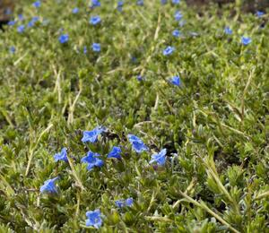 Kamejka 'Grace Ward' - Lithodora diffusa 'Grace Ward'