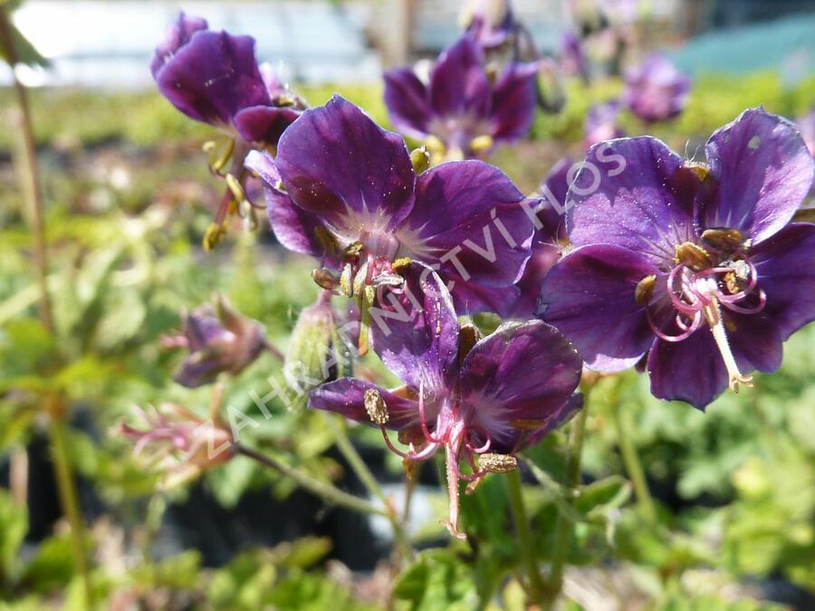 Kakost hnědočervený 'Samobor' - Geranium phaeum 'Samobor'