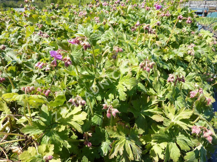 Kakost vznešený 'Rosemoor' - Geranium magnificum 'Rosemoor'