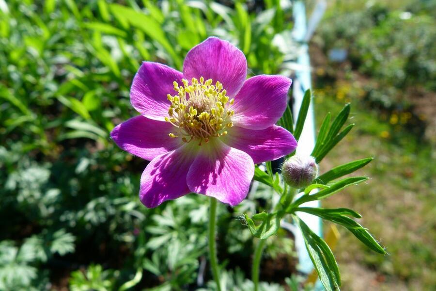 Sasanka 'Rubra' - Anemone multifida 'Rubra'