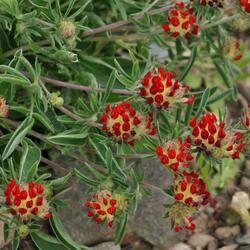 Úročník 'Coccinea' - Anthyllis vulneraria var. 'Coccinea'
