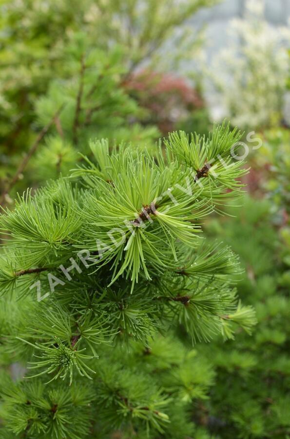 Modřín opadavý 'Little Bogle' - Larix decidua 'Little Bogle'