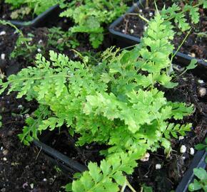 Kapradina štětinonosná 'Proliferum' - Polystichum setiferum 'Proliferum'