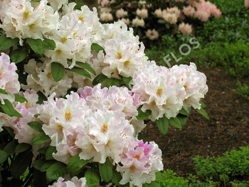 Pěnišník 'Eskimo' - Rhododendron 'Eskimo'