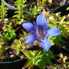 Hořec sedmiklaný - Gentiana septemfida var. lagodechiana