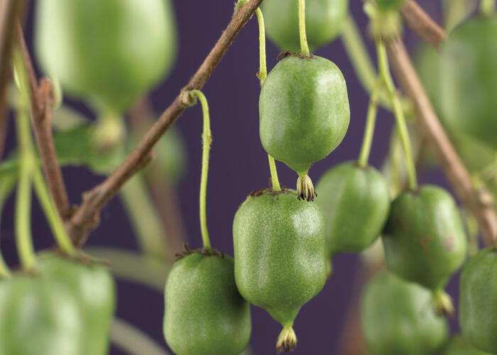 Aktinidie význačná, kiwi - samosprašná 'Issai' - Actinidia arguta 'Issai'