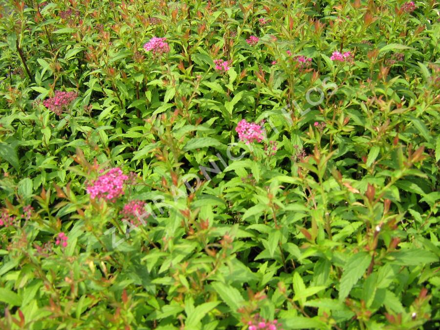 Tavolník japonský 'Dart's Red' - Spiraea japonica 'Dart's Red'
