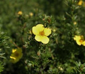 Mochna křovitá 'Annette' - Potentilla fruticosa 'Annette'