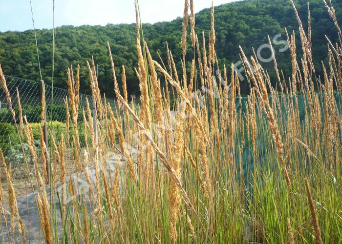 Třtina ostrokvětá 'Karl Foerster' - Calamagrostis acutiflora 'Karl Foerster'