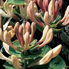 Zimolez kozí list - Lonicera caprifolium