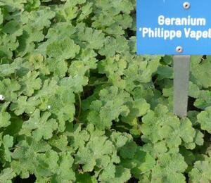 Kakost Renardův 'Philippe Vapelle' - Geranium renardii 'Philippe Vapelle'