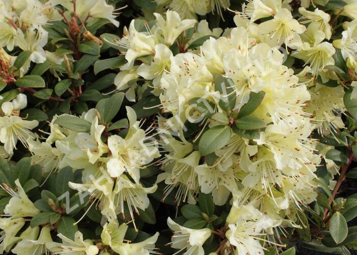 Pěnišník 'Princess Anne' - Rhododendron hanceanum 'Princess Anne'