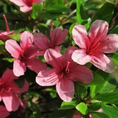 Azalka japonská 'Silvester' - Azalea japonica 'Silvester'