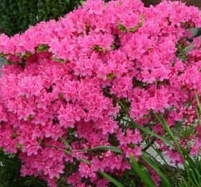 Azalka japonská 'Kermesina' - Azalea japonica 'Kermesina'
