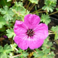 Kakost sivý 'Purpureum' - Geranium cinereum 'Purpureum'
