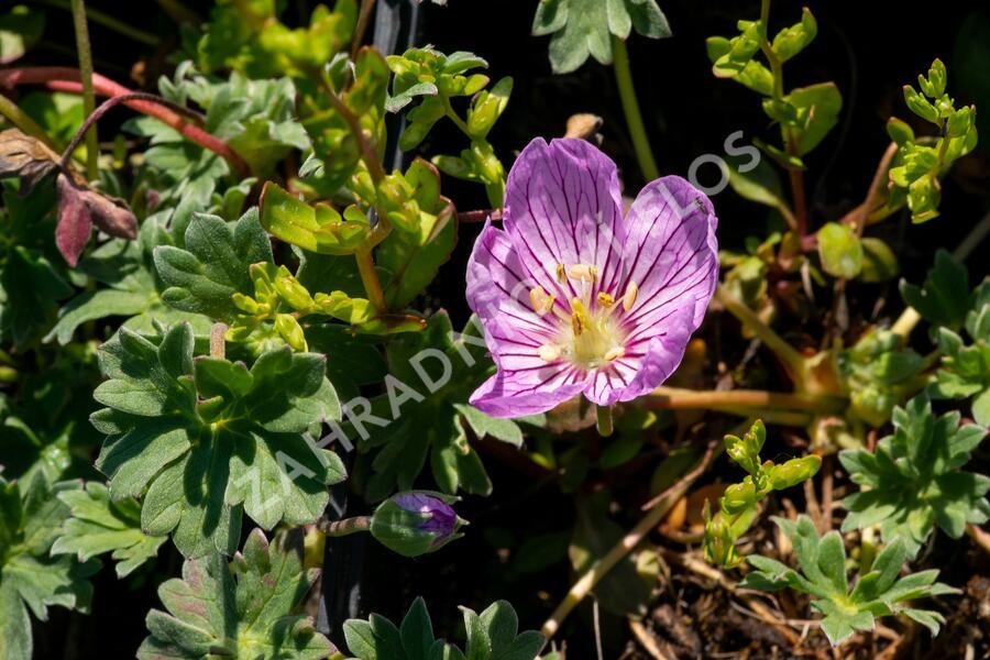 Kakost sivý 'Alice' - Geranium cinereum 'Alice'