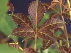Přísavník Henryův - Parthenocissus henryana