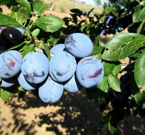 Pološvestka - středně raná 'Wangenheimova' - Prunus domestica 'Wangenheimova'