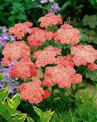 Řebříček obecný 'Wesersandstein' - Achillea millefolium 'Wesersandstein'