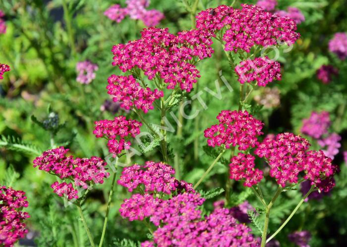 Řebříček obecný 'Velour' - Achillea millefolium 'Velour'